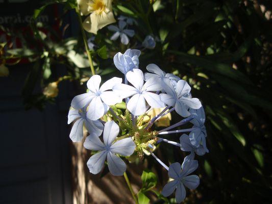 Geranium Bleu