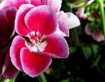 Geranium Flower Detail