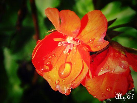 Geranium Lierre (pelargonium)