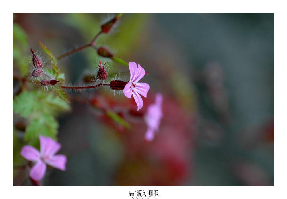 Geranium robertianum,