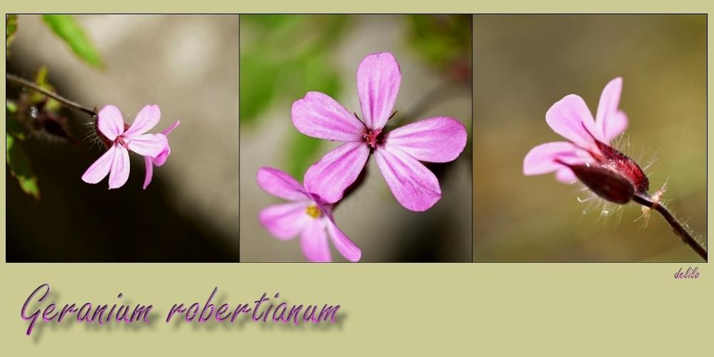 Geranium robertianum oder Ruprechtskraut