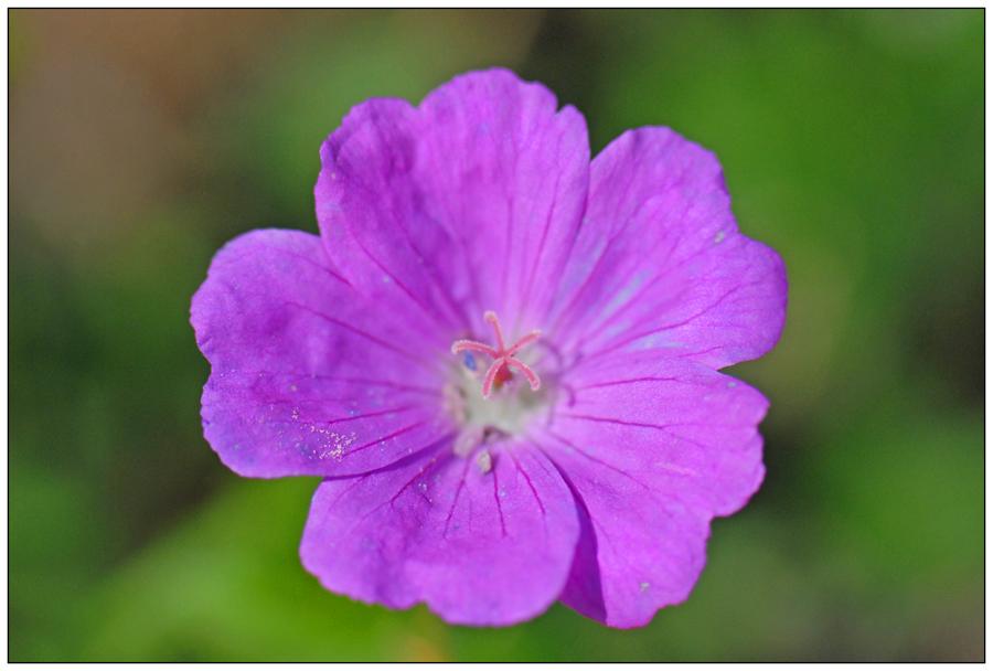 Géranium sanguineum