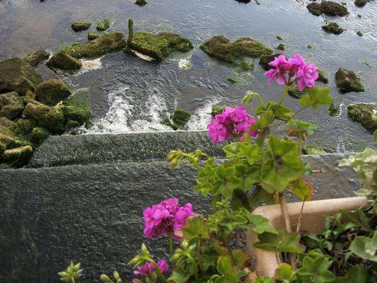 Géraniums dans le vide
