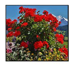 geraniums geants...