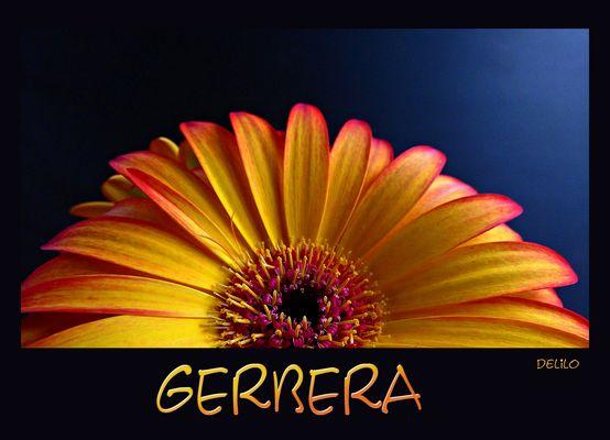 Gerbera 2