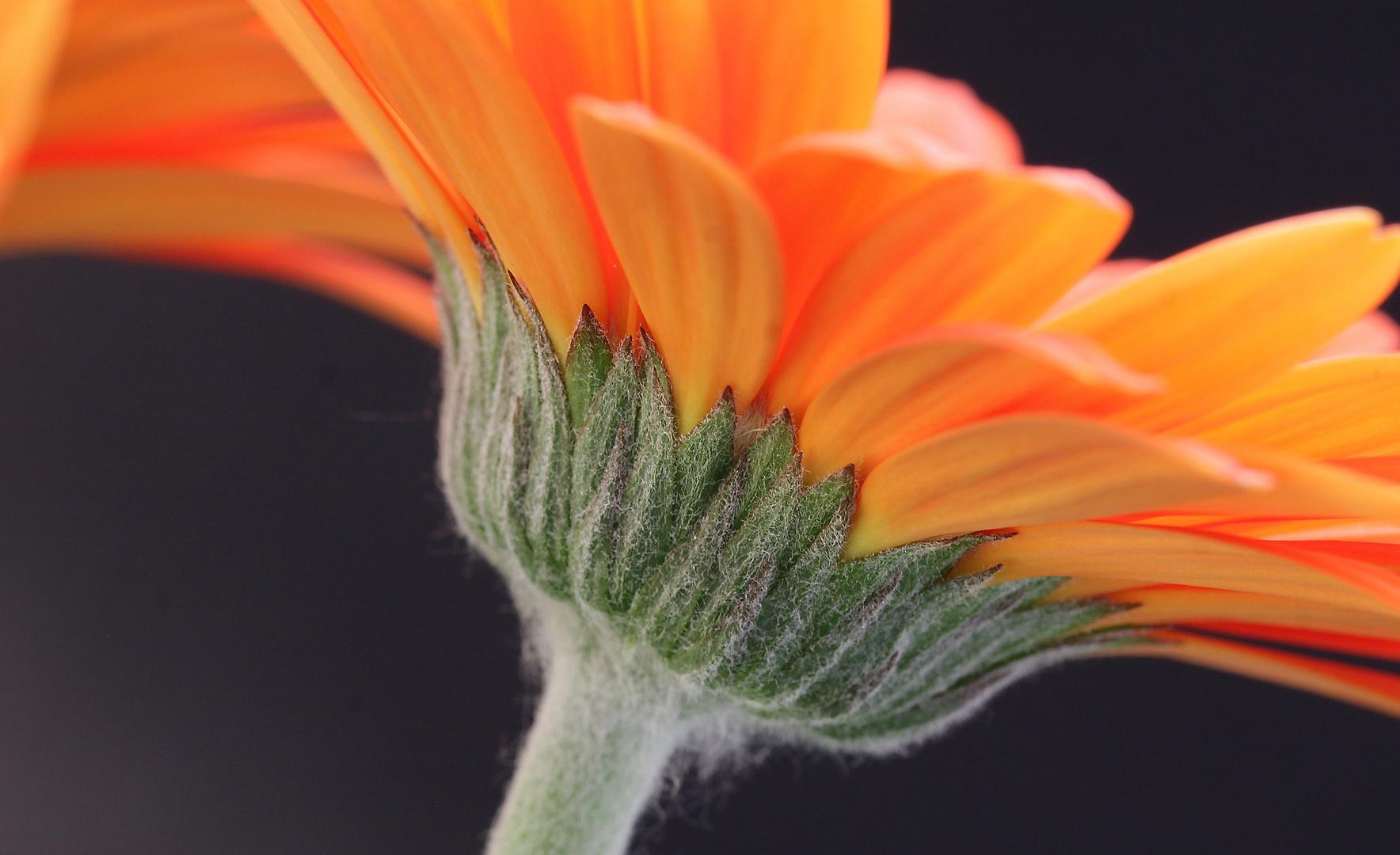Gerbera-Blüte....