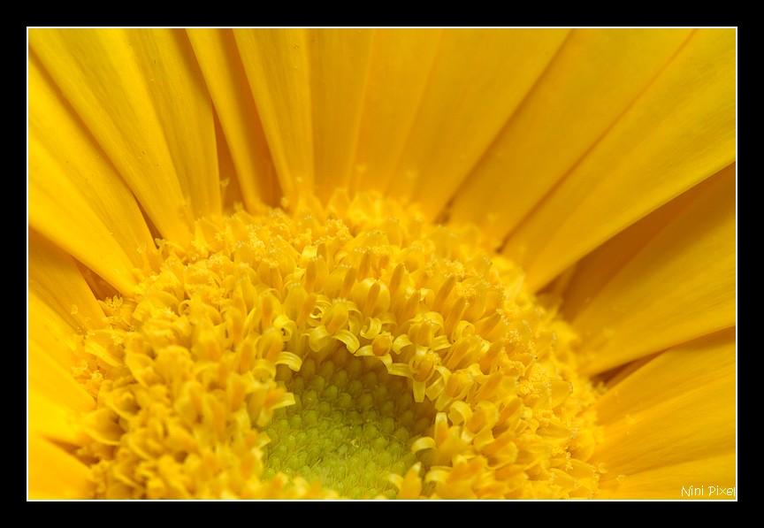 Gerbera couleur soleil...