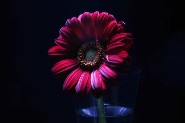 gerbera in lighting painting
