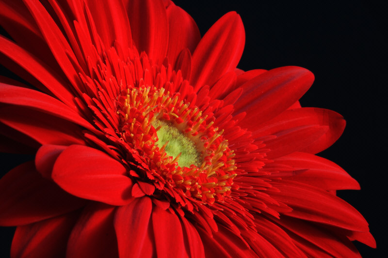 gerbera in rot foto bild pflanzen pilze flechten. Black Bedroom Furniture Sets. Home Design Ideas