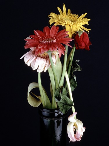Gerbera, Rose und Tulpe