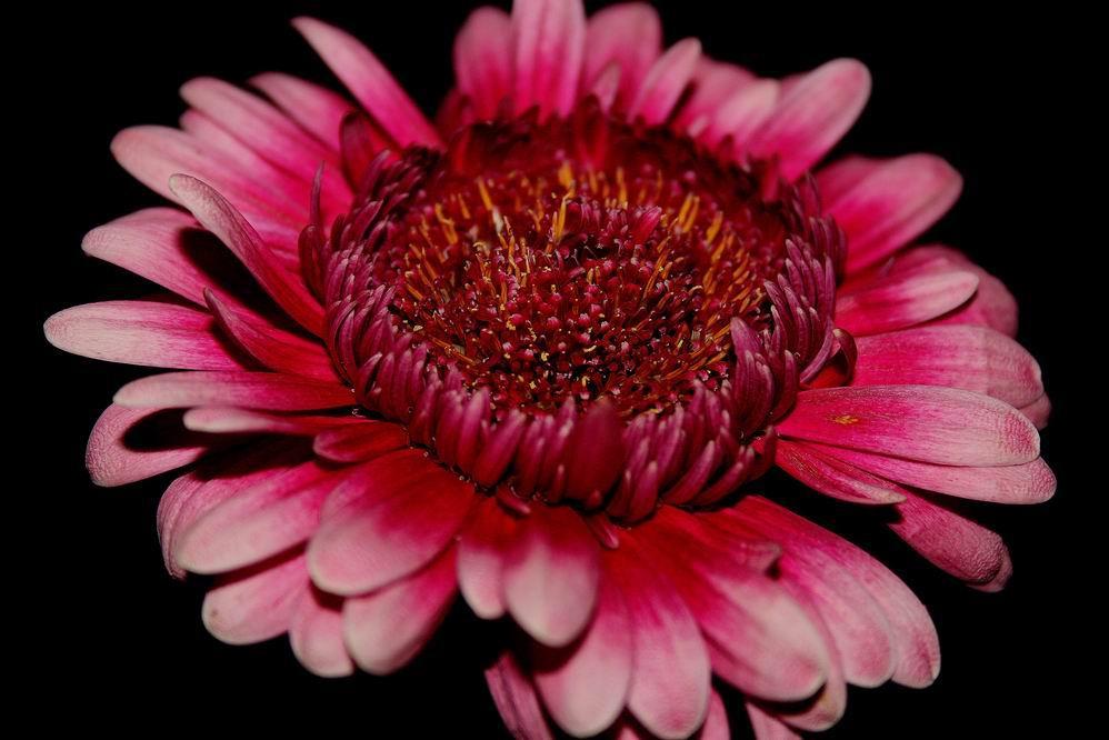 Gerbererblume