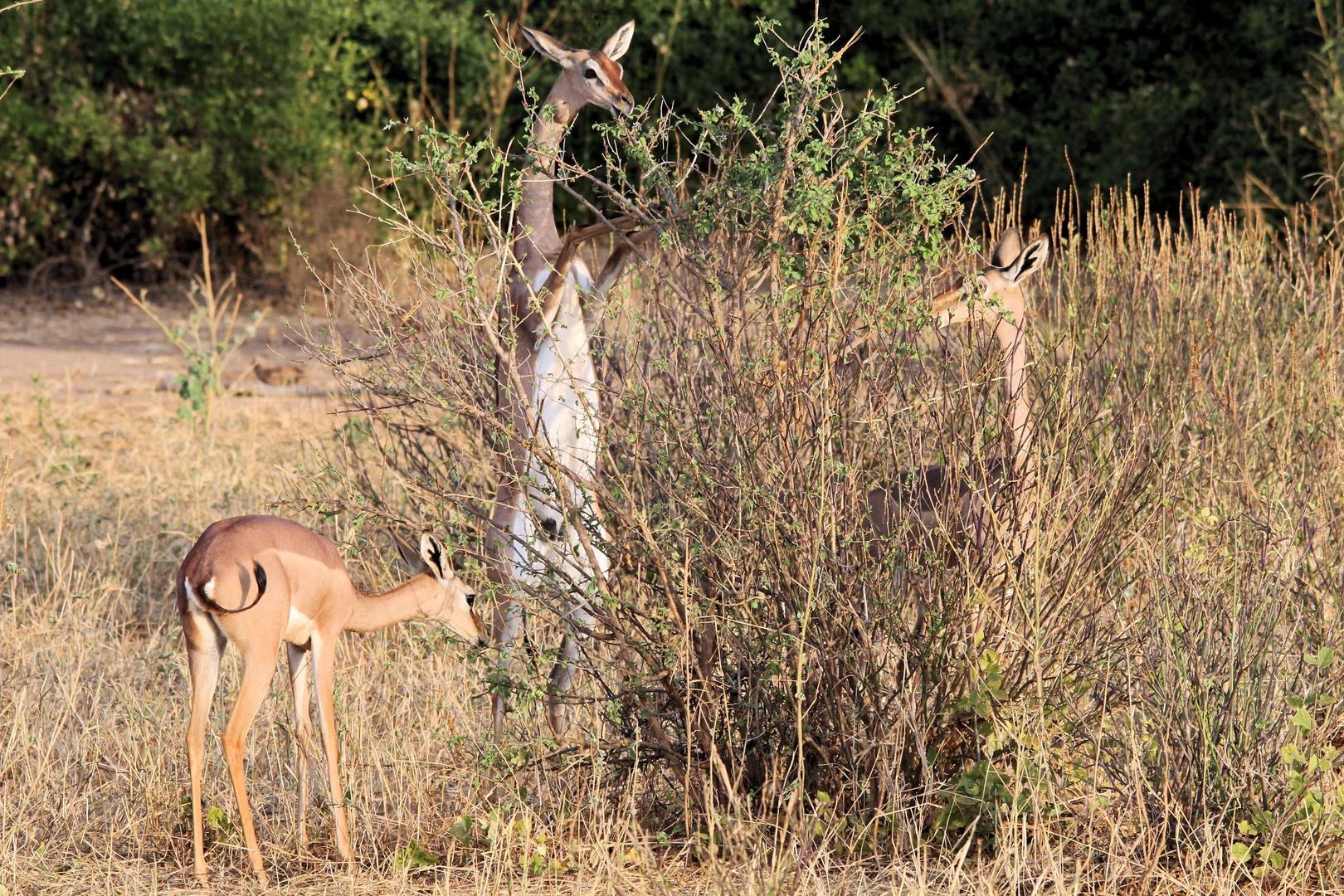 Gerenuk die Giraffengazelle