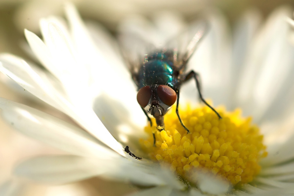 german daisy fly