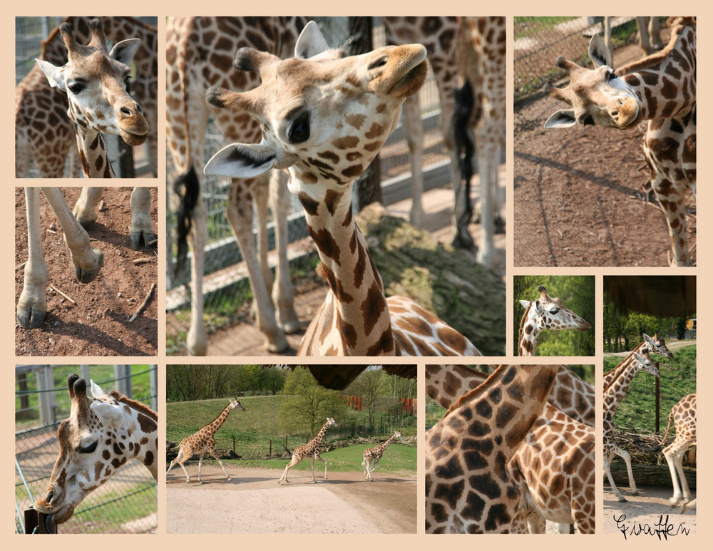 Germanys next Giraffenmodel