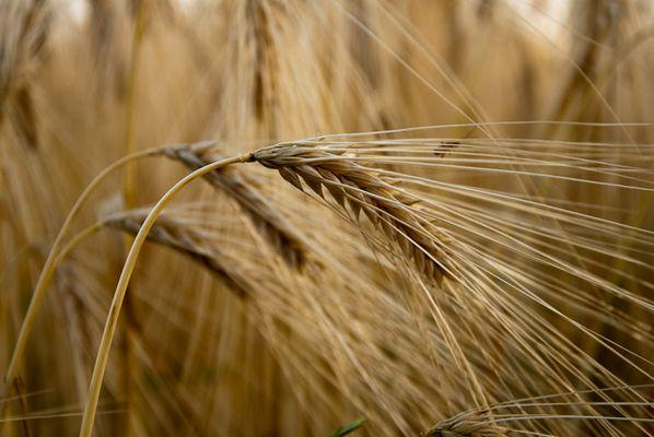 Gerste - Noch 8 Tage bis zur Ernte
