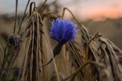 Gerste und blaue Blume im Sonnenuntergang