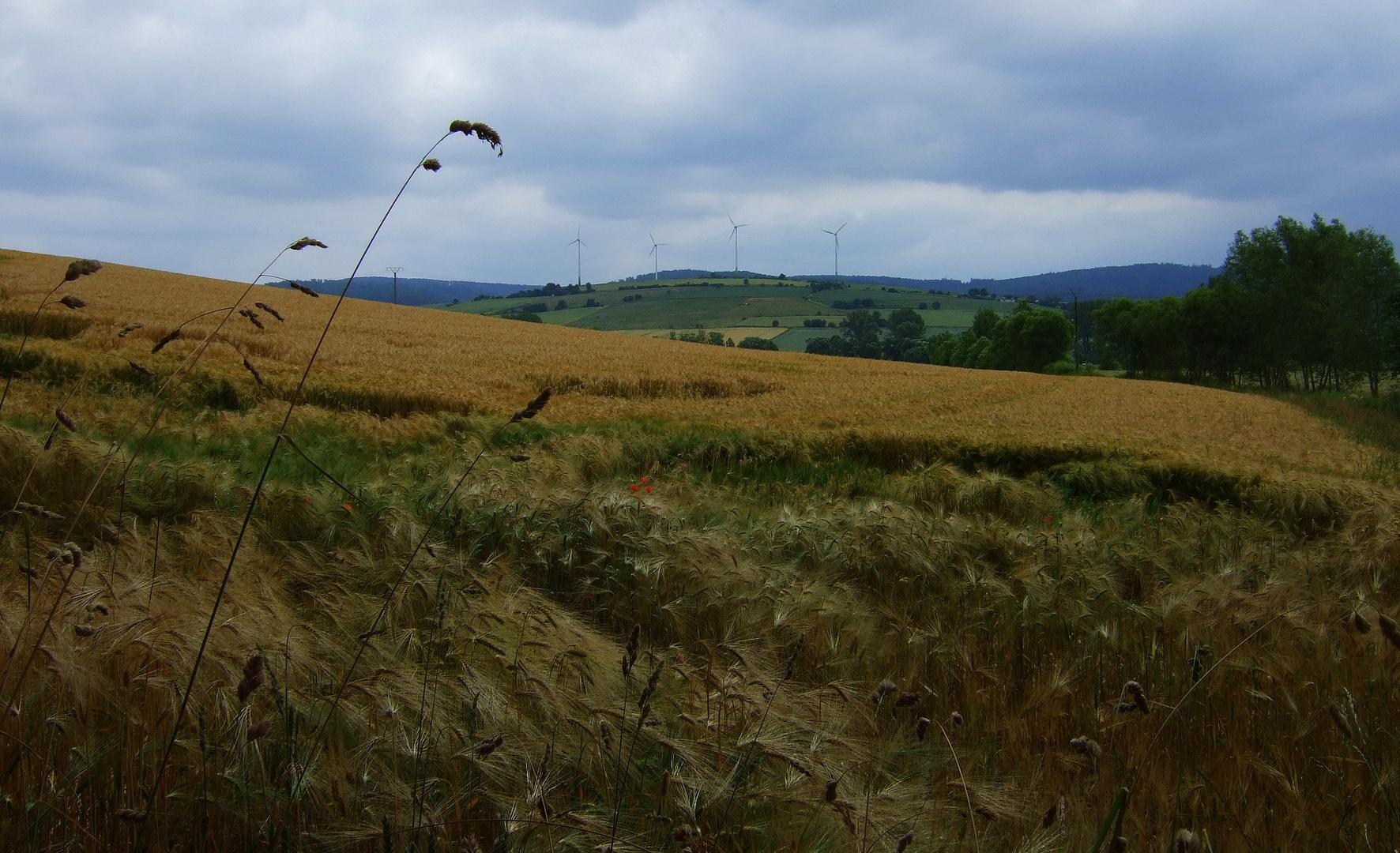 - Gerstenfeld vor der Ernte-