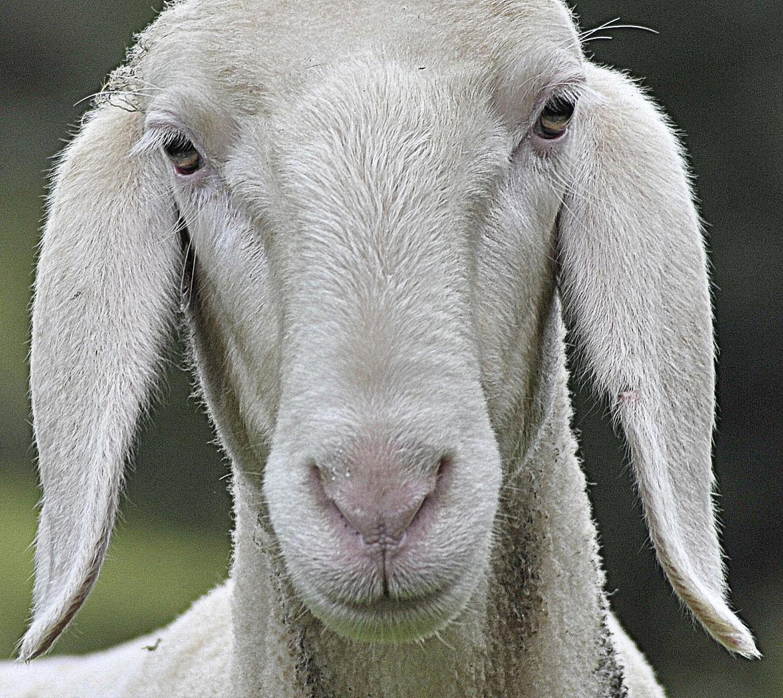 Gertrud das Schaf