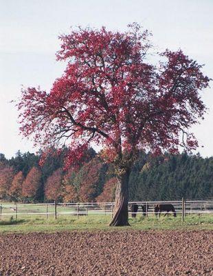 """""""gerupfter"""" Baum"""