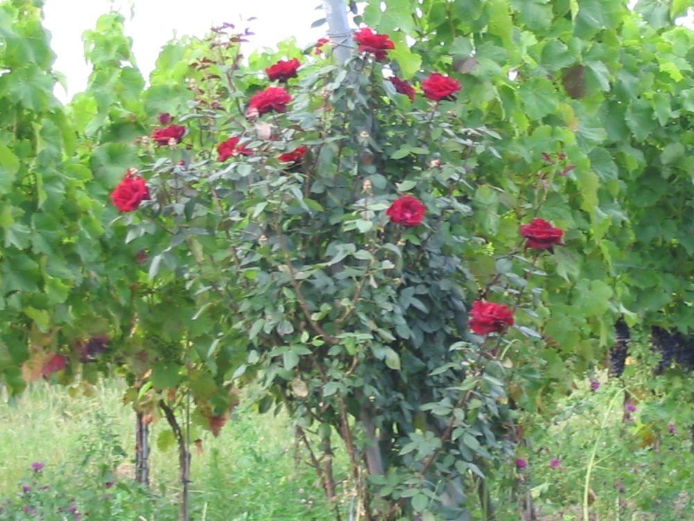 gesamtansicht des rosenstockes im weinberg