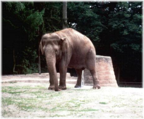 Geschäfte eines Elefanten