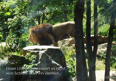 ...gescheiter Löwe...