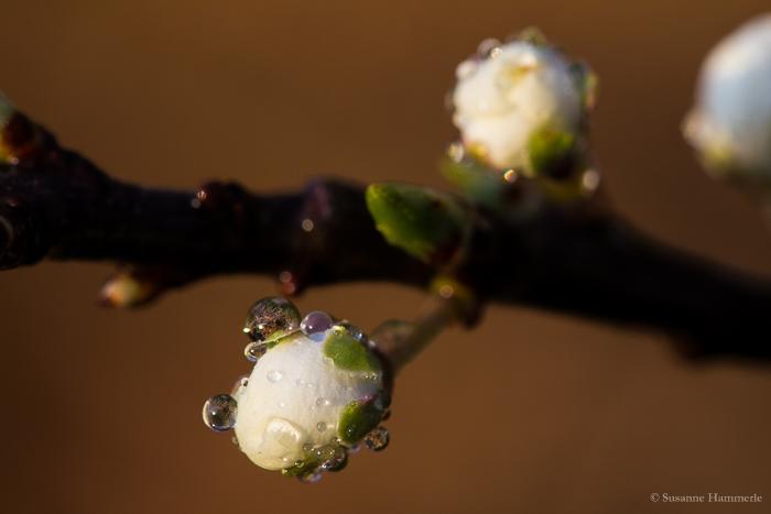 Geschlossene Kirschblüte