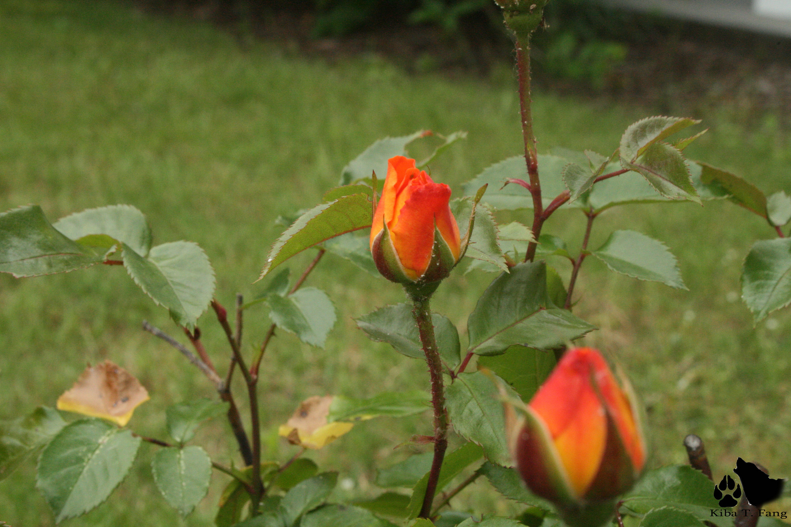 Geschlossene Rose 2