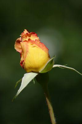 geschlossene Rose für meine Schwester Antonia