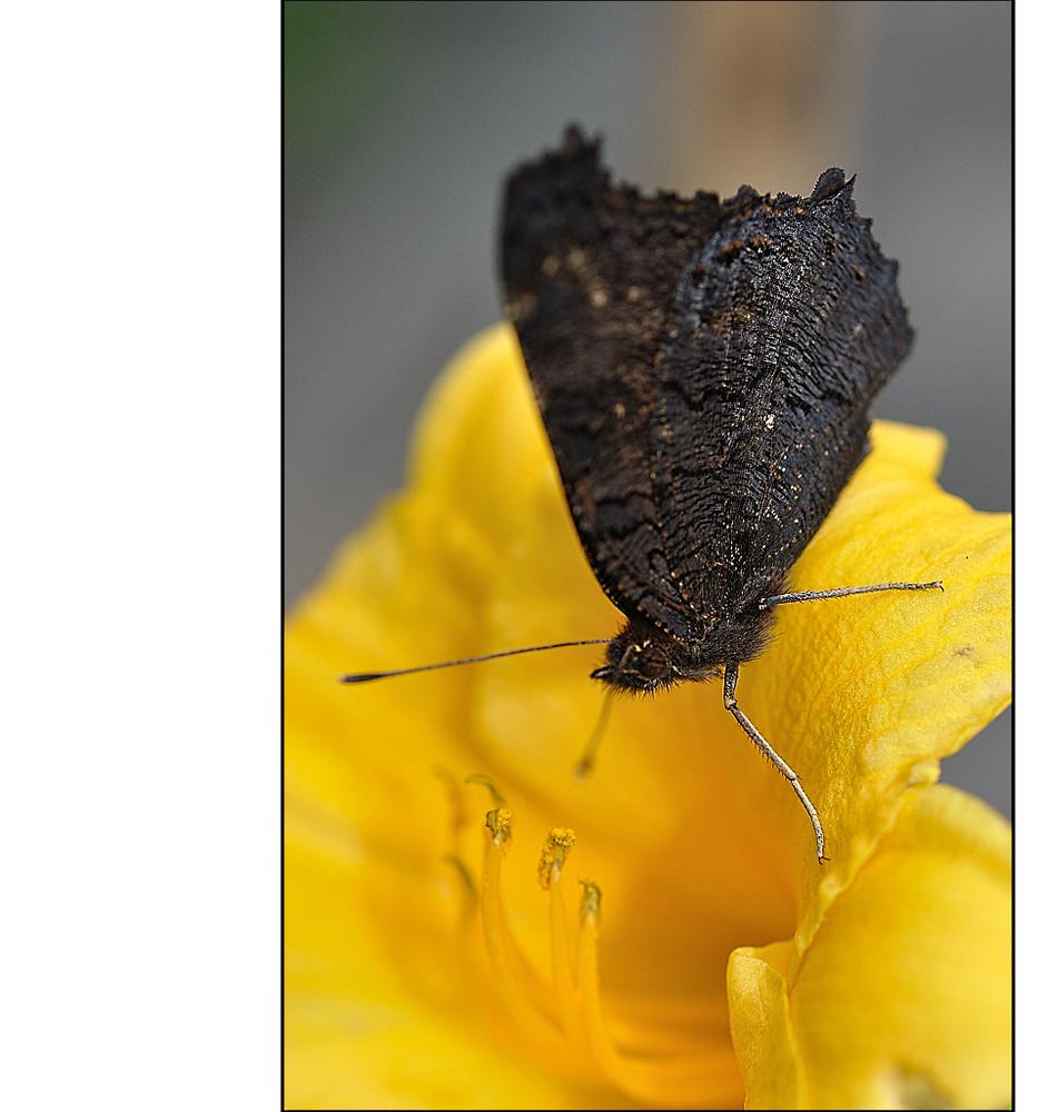 geschlossener Schmetterling