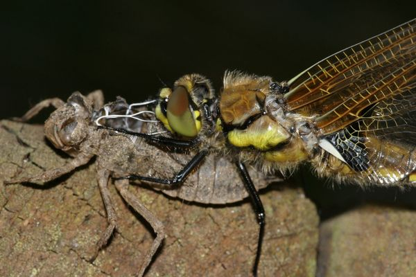 Geschlüpfte Libelle
