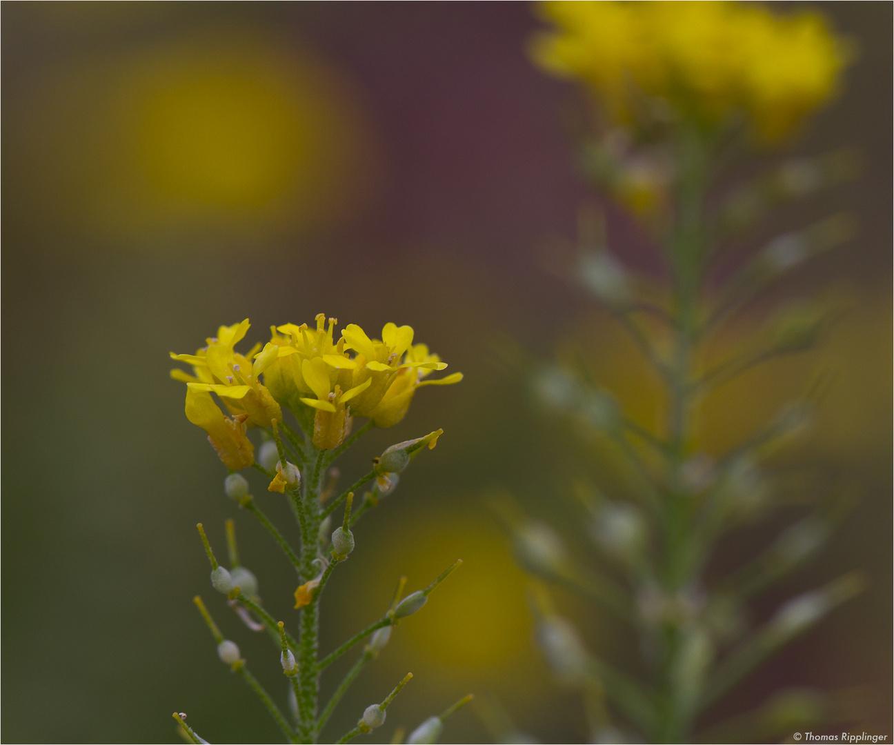 Geschnäbeltes Steinkraut (Alyssum rostratum)