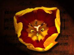 Gescholtene Tulpe
