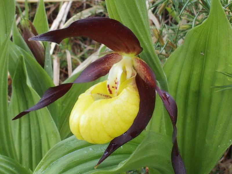 Geschützte Pflanze (Bei uns in der Schweiz auf der roten Liste)