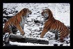 Geschwisterstreit der Tiger......2....