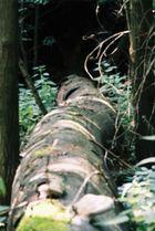 Gesicht 3, umgefallener Baum