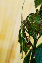 Gespenster-heuschrecke