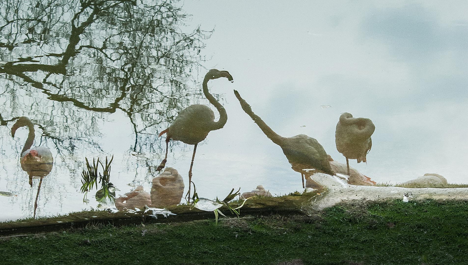 Gespiegelte Flamingos