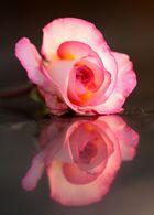gespiegelte Rose...
