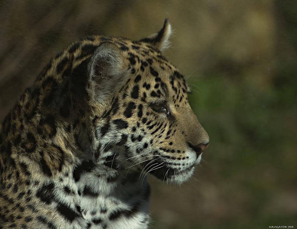 Gestatten Leo, Leopard.