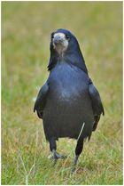 """Gestatten, mein Name ist """"Corvus frugilegus"""" . . ."""