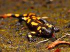 Gestern zwei Salamander gesehn.