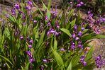 Gestreifte Chinaorchidee (Bletilla striata)
