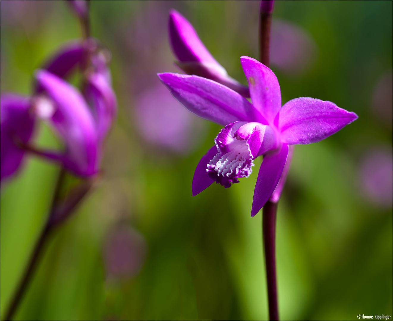 Gestreifte Chinaorchidee (Bletilla striata).