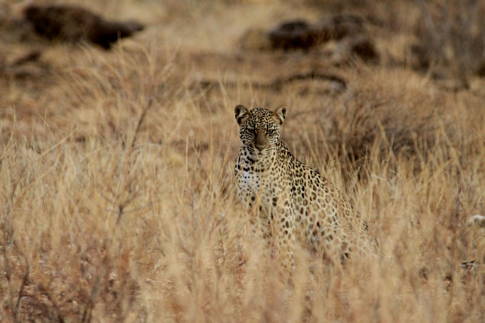 Getarnt (Junger Leopard)