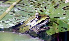 getarnter Frosch