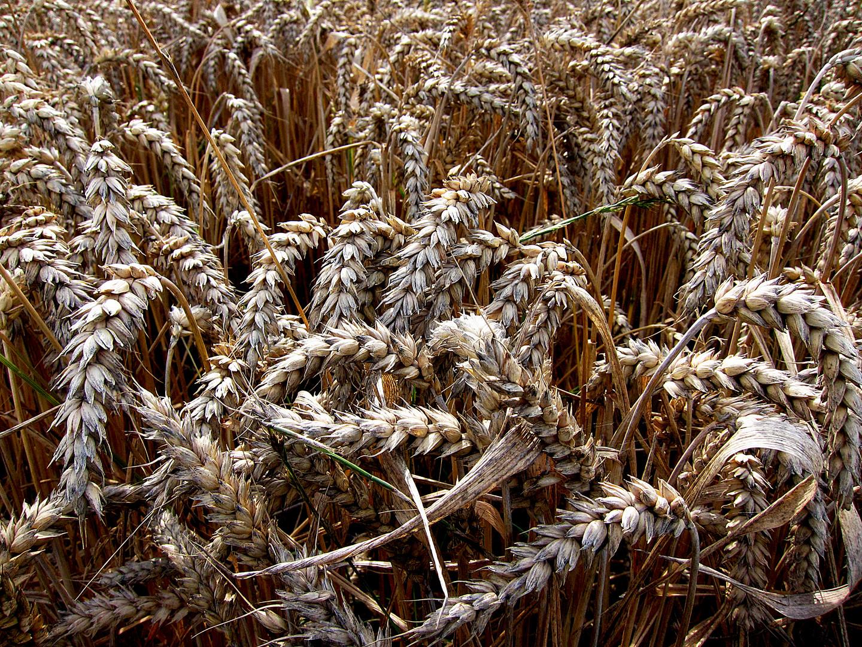 Getreide 1