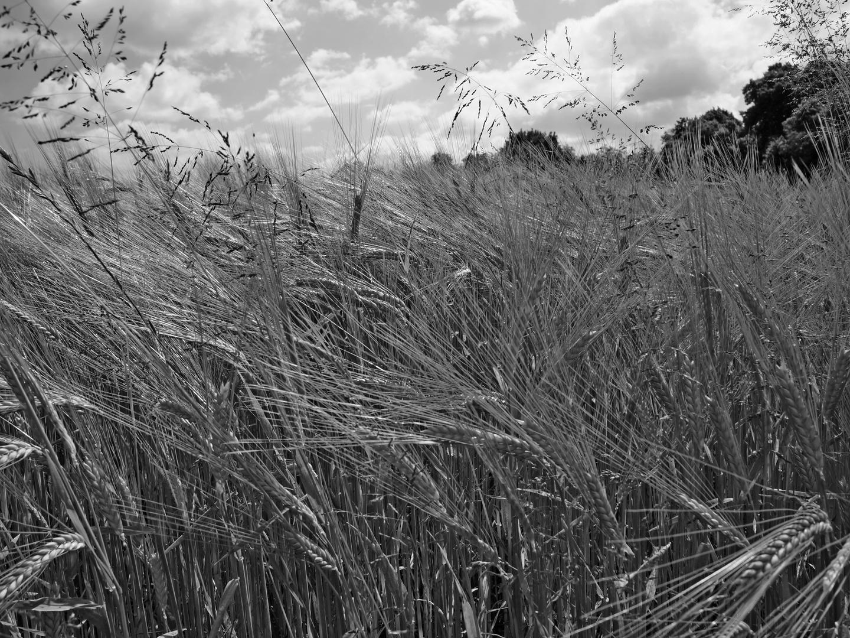 Getreide 3