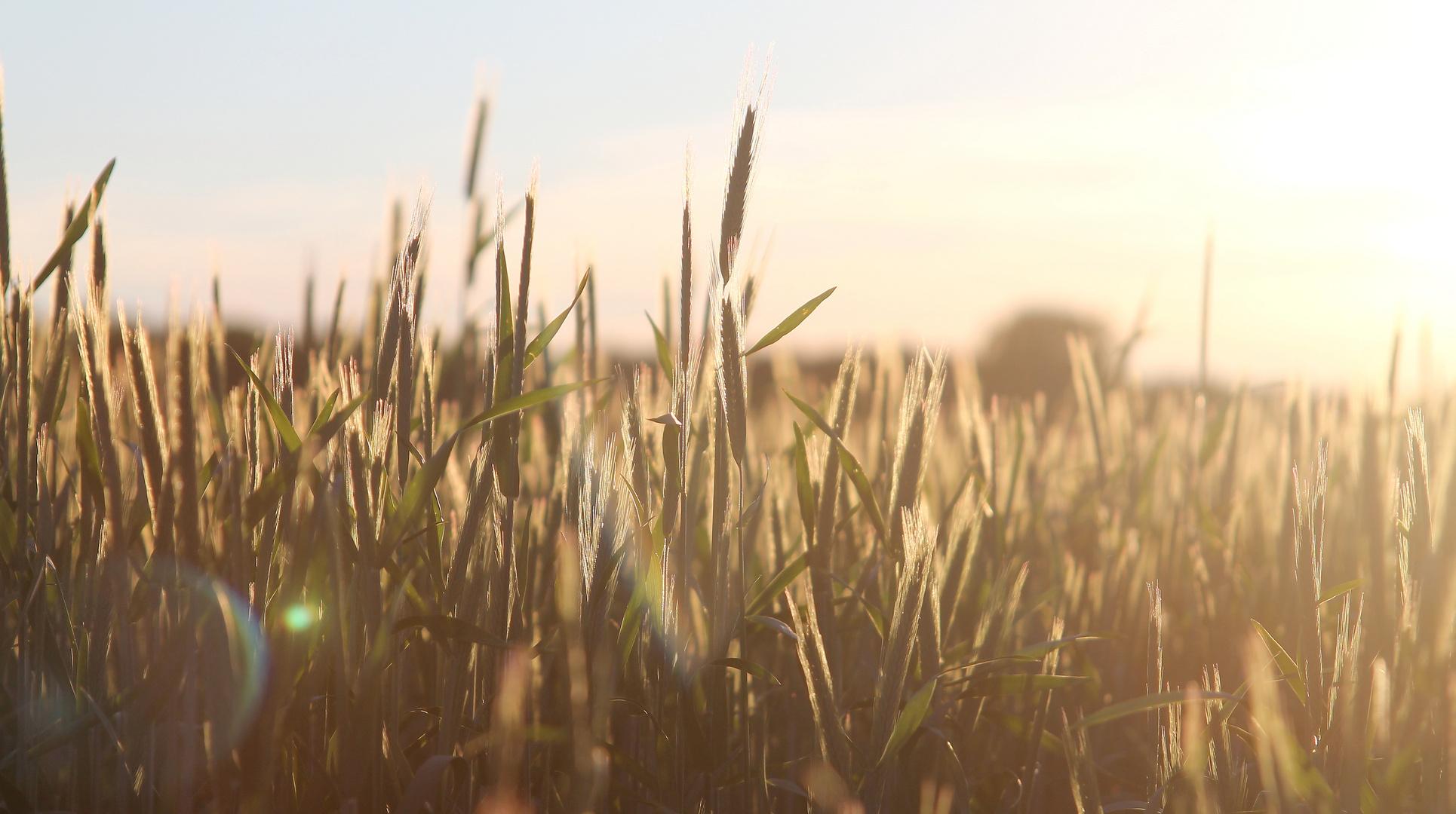 Getreide...
