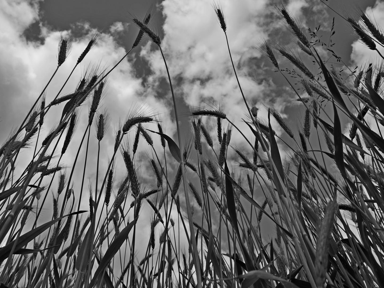 Getreide 5
